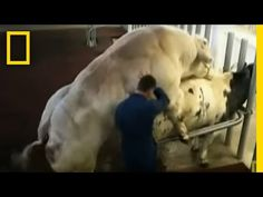 Meet the Super Cow | National Geographic - YouTube