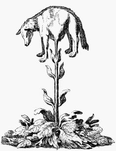 """Zoophytes - The Lamb Plant, or Borametz, is also included in botanist John Parkinson's 1629 """"Paradisi in sole Paradisus Terrestris."""""""