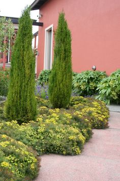 "Italian Cypress.  Put 3 Miniature ""Italian Cypress"" in front of hedge, fill bed with misc groundcovers viz. Lamium and more."