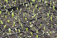 Calendrier des semis à réaliser sous abri ou en place et des récoltes pour 36 légumes du potager.