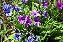 Babiana stricta Babiana stricta (baboon flower, blue freesia) is a species of flowering plant in the family Iridaceae, native to Cape Province, South Africa and naturalized in Australia.[1] Growing 10–30 cm (4–12 in) tall by 5 cm (2 in) broad, it is a cormous perennial with hairy leaves 4–12 cm (2–5 in) long.[2] The leaves show linear venation.