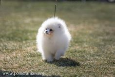 Pros and Cons of a Pomeranian as a Pet. What You Should Know Before Getting a Pomeranian Puppy. Getting a pomeranian puppy facts Pomeranian Mix Puppies, Puppy Facts, Puppies For Sale, Cute Animals, Dog, Chair, Pets, Artwork, Pretty Animals