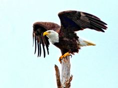 United States National Bird National Bird: Bald Eagle