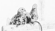 Pullets for coloring (cell photo by Trisha)