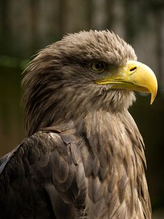 White-tailed_Eagle_Head_detail