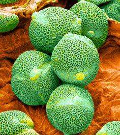Foto Libreria: polline al microscopio - n ° 2.