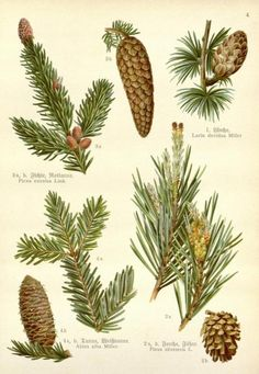 Illustration Botanique, Illustration Noel, Illustrations, Vintage Botanical Prints, Botanical Art, Landscape Art, Landscape Paintings, Pine Tree Art, Impressions Botaniques