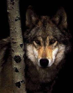 .El lobo tiene una visión perfecta y adaptada inclusive a situaciones de escasa luz.