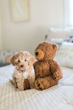 More About The Poodle Dogs Temperament Poodle Mix Breeds, Dog Breeds, Poochon Puppies, Bichons, Puppys, Cute Puppies, Cute Dogs, Poodle Puppies, Teddy Bear Dog