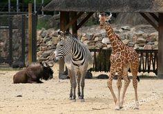 Dierentuin Artis is de oudste dierentuin van Amsterdam en centraal gelegen. Meer dan 900 dieren van giraffen en olifanten tot aapjes en vlinders.