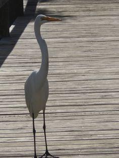 Egret, Vilano Beach, St. Augustine, FL
