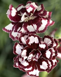 Klehm's Song Sparrow Farm and Nursery--Sun Perennials--Dianthus 'Coconut Punch' PP21,876