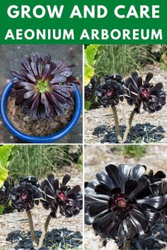 Learn how to grow and care for the aeonium arboreum. Wine Bottle Fountain, Types Of Succulents, Succulent Care, Rose, Plants, Pink, Plant, Roses, Planets