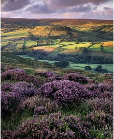 Heather in Yorkshire, England.