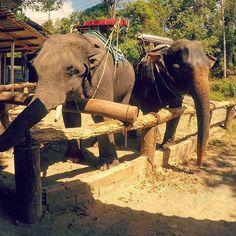 the living #dinosours #elephant #trekking #animalsofinstagram #animals #instatraveling #thailand #pipe #traveler #explorer #hot #nomad #digitalnomad #nomadic #nomadnetwork by ahmetsali