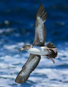 Shearwater sea bird
