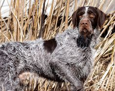 Pointing Dog Blog: Breed of the Week: The Cesky Fousek