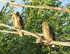 Mom and young Great Horned Owl