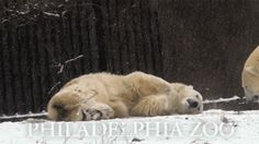 """Community Post: The 35 Cutest Polar Bear Gifs On The Internet - """"C'mon....come make snow angels with me!"""""""