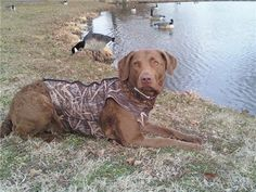 Maggie goose hunting | Chesapeake Bay Retriever. Description from pinterest.com. I searched for this on bing.com/images