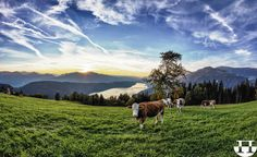 Find Lake Millstatt Herd Cows Sunset stock images in HD and millions of other royalty-free stock photos, illustrations and vectors in the Shutterstock collection. Thousands of new, high-quality pictures added every day. Carinthia, Photo Online, Cows, The Places Youll Go, My Images, Austria, Photo Editing, Royalty Free Stock Photos, Explore