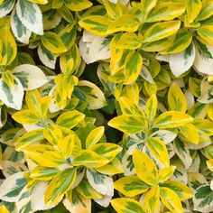Emerald 'n' Gold' is a popular and bushy variety of Euonymus because it make an excellent low-maintenance shrub and a lovely canvas for many ornamentals Low Maintenance Shrubs, Purple Garden, Shade Plants, Trees And Shrubs, Hedges, Garden Plants, Emerald, Plant Leaves, Landscape