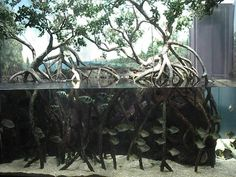 Brakish Mangrove Biotope