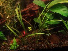 Smitty's First Planted Tank (Update, questions, 9/16/13)   Hydra Forum - HydraForum.com
