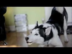 Naughty Siberian Husky protests going to bed (VIDEO) » DogHeirs | Where Dogs Are Family « Keywords: argues, bed, Siberian Husky