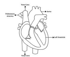 36268 additionally Kidneyquiz furthermore Anatomy moreover Frog Dissection together with Circulatory System And Respiratory System. on internal anatomy of the heart