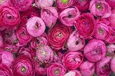 Ranunculus Elegance Hot Pink at New Covent Garden Flower Market November 2016 Love Flowers, Wedding Flowers, New Covent Garden Market, Dir En Grey, Flower Market, Ranunculus, Pretty In Pink, Hot Pink, Marketing