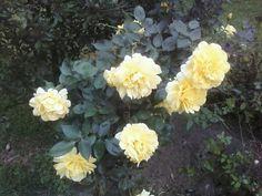 Grandmas yellow roses