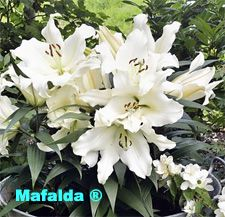 """?? Lily 'Mafalda' - Dwarf OT lily 'Mafalda' is one of the first genetically short Orienpet lilies with large, very fragrant, creamy white flowers that bloom on compact 24"""" to 30"""" stems. Use it near the front of the border so you can enjoy the fragrance up close.  later??"""