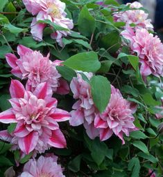 Rose Gardening For Beginners 6 Tips for Growing Clematis - Longfield Gardens - Clematis are long-lived perennial vines and have an important role in any flower garden. Learn how to make the most of these beautiful climbers. Clematis Plants, Clematis Vine, Flowers Perennials, Garden Plants, House Plants, Clematis Armandii, Clematis Flower, Fruit Garden, Outdoor Plants