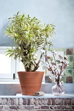 Zimmerbäume und Baumwolle dekorativ kombiniert – Pflanzenfreude.de. #pflanzenfreude #zimmerbäume #zimmerpflanzedesmonats
