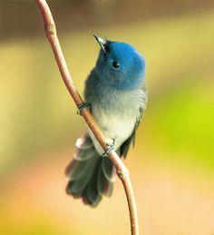 Naped Blue Flycatcher, taken at Taipei Botanical Graden, TAIWAN