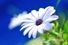 Happy White Daisy- Blue Bokeh Photograph by Kaye Menner
