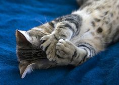Polydactyl Cat - Love them so much that I have two of my own! Baby Animals, Funny Animals, Cute Animals, Animal Funnies, Unusual Animals, Funny Bunnies, Funny Cats, Crazy Cat Lady, Crazy Cats