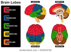 Human Brain Anatomy Set of Lateral Sagittal Superior Inferior Views with all lobes Frontal Parietal Temporal Occipital Limbic anatomical science education nervous system route spinal cord start vector