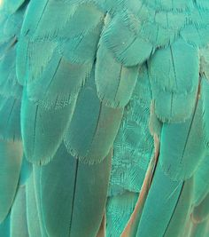 The feathers of the rare blue color morph of the typically green and yellow, Yellow-naped Amazon.    Photo by Anthony O'Neil