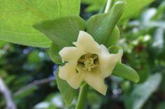 Fleurs du plaqueminier kaki - U.S.S. BOTANY BAY