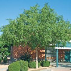 chinese elm - shade tree