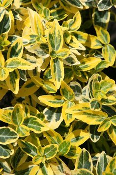 Buy winter creeper Euonymus fortunei 'Emerald 'n' Gold' - A tough evergreen shrub with yellow, variegated leaves: Delivery by Waitrose Garden in association with Crocus Planting Shrubs, Garden Shrubs, Flowering Shrubs, Deciduous Trees, Planting Flowers, Planting Plan, Shade Garden Plants, Sun Plants, Foliage Plants