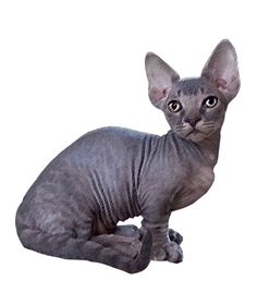 For people who want a real lap #cat, the Minskin is a great choice, go here !