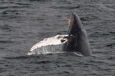 10-31-14 TB breach, we are so far unable to ID this whale. We have sent our a few photos to other organizations to hope to get an ID. But it was a great Halloween Treat to see an unknown humpback whale!