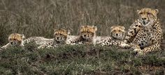 Proud cheetah supermon with her four cubs in the Masai Mara, Kenya by Andy Howe…