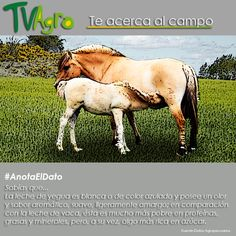 #AnotaElDato Leche de yegua  reconocida por su delicioso sabor.