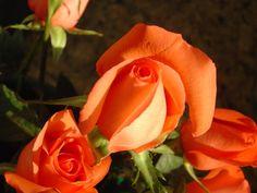 orange roses   Orange Roses