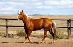 Wimpy P-1 owned by the King Ranch, Kingsville, Texas, earned the first number in the American Quarter Horse Association. Description from…