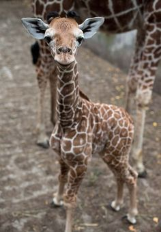 One-week-old Giraffe baby - not an animal lover, but this may be the cutest thing I've ever seen in my life ♥